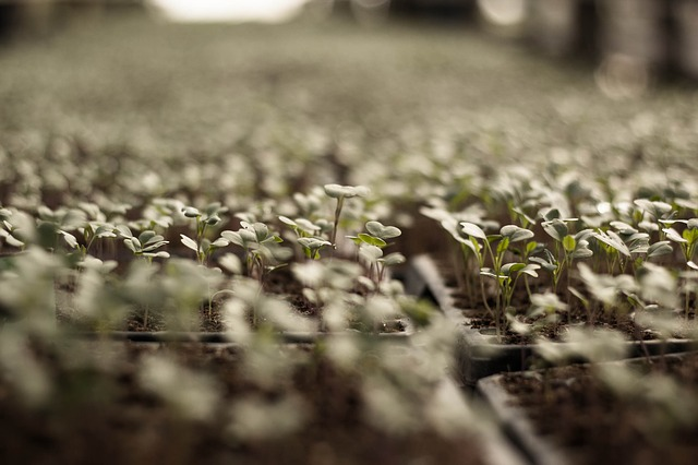 klíčky semen